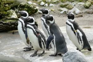 pinguin zoo augsburg. Black Bedroom Furniture Sets. Home Design Ideas