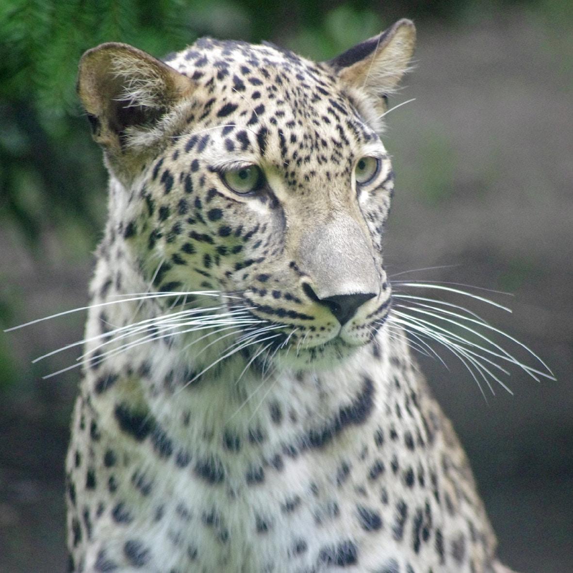 leopard zoo augsburg. Black Bedroom Furniture Sets. Home Design Ideas