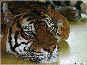 sumatra tiger zoo augsburg. Black Bedroom Furniture Sets. Home Design Ideas